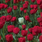 red_tulips_white_tulip