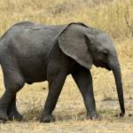 elephant-650625_1920