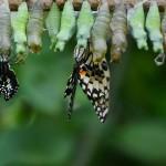 cocoons_butterflies
