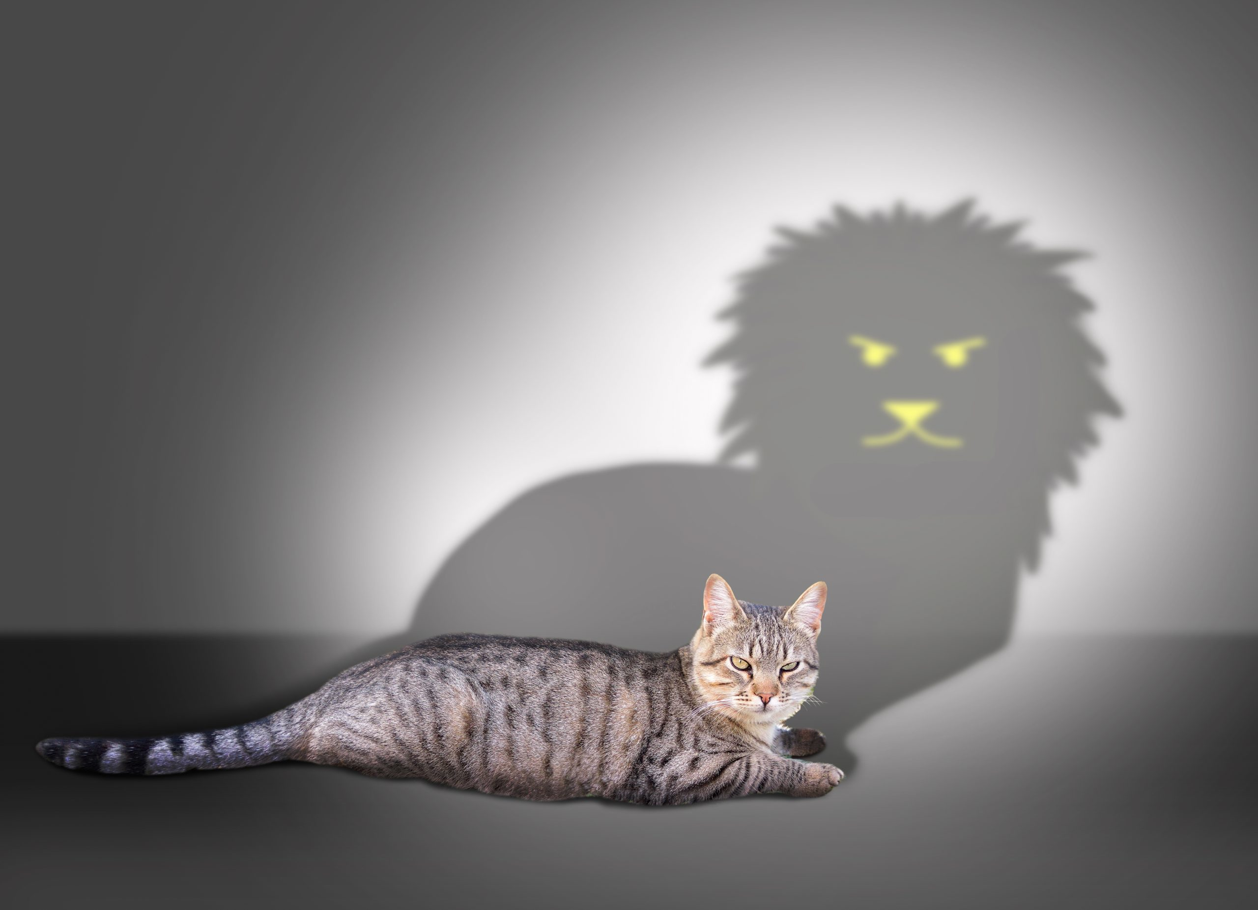tabby cat lying down and casting a shadow of a lion on the wall